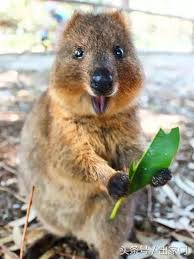 Happy-faced quokka
